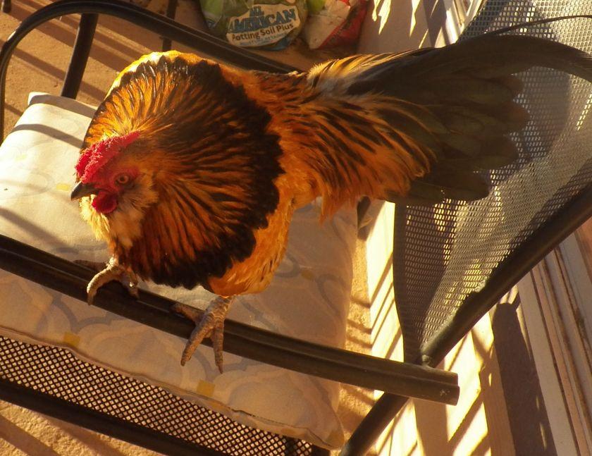 chickenhawk1