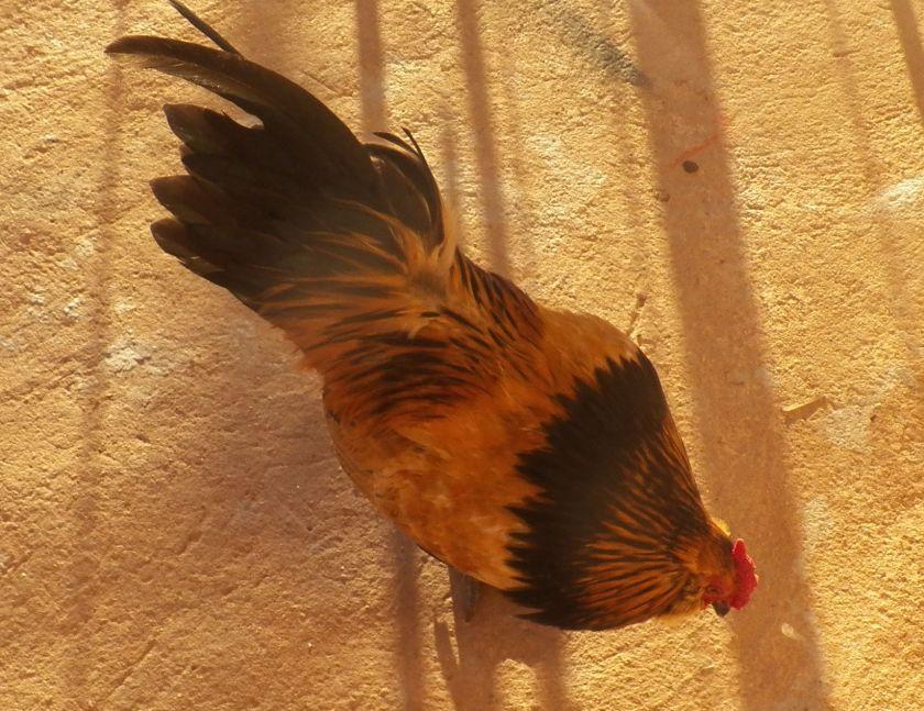 chickenhawk2